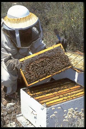 מְלַקְקִים דבש