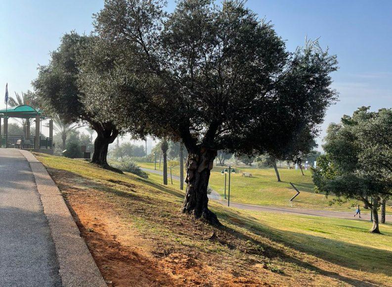 מי יהיה העץ הלאומי של ישראל?